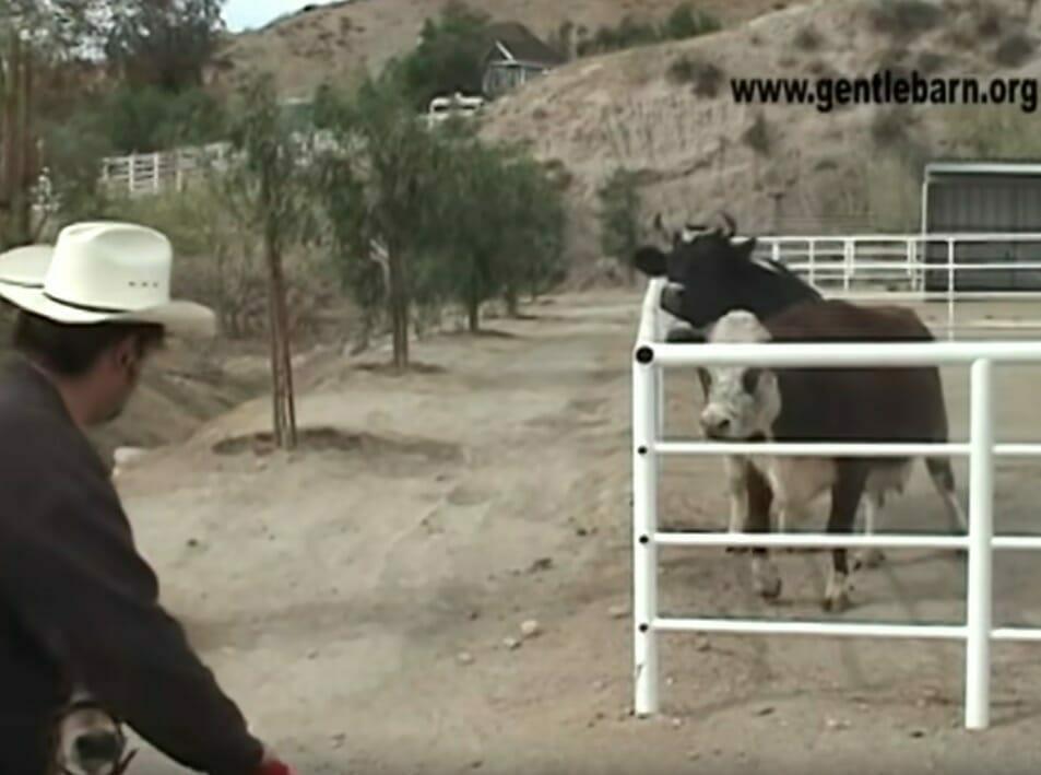 Krowa Karma w zagrodzie
