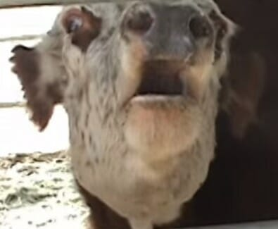 Krowa wyje z powodu utraty cielaczka