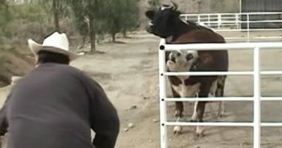 Krowa Karma wyje w zagrodzie