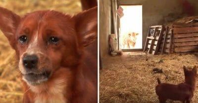 Grafika przedstawia dwa zdjęcia: po lewej Rooki, po prawej Rooki i krowa w stodole