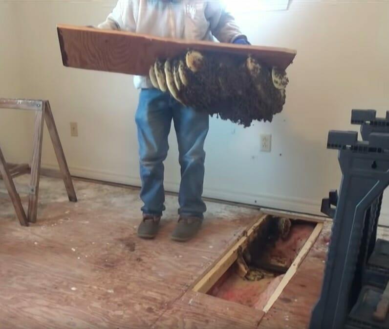 Ogromne gniazdo pszczół, które Jeff wyciągnął spod podłogi