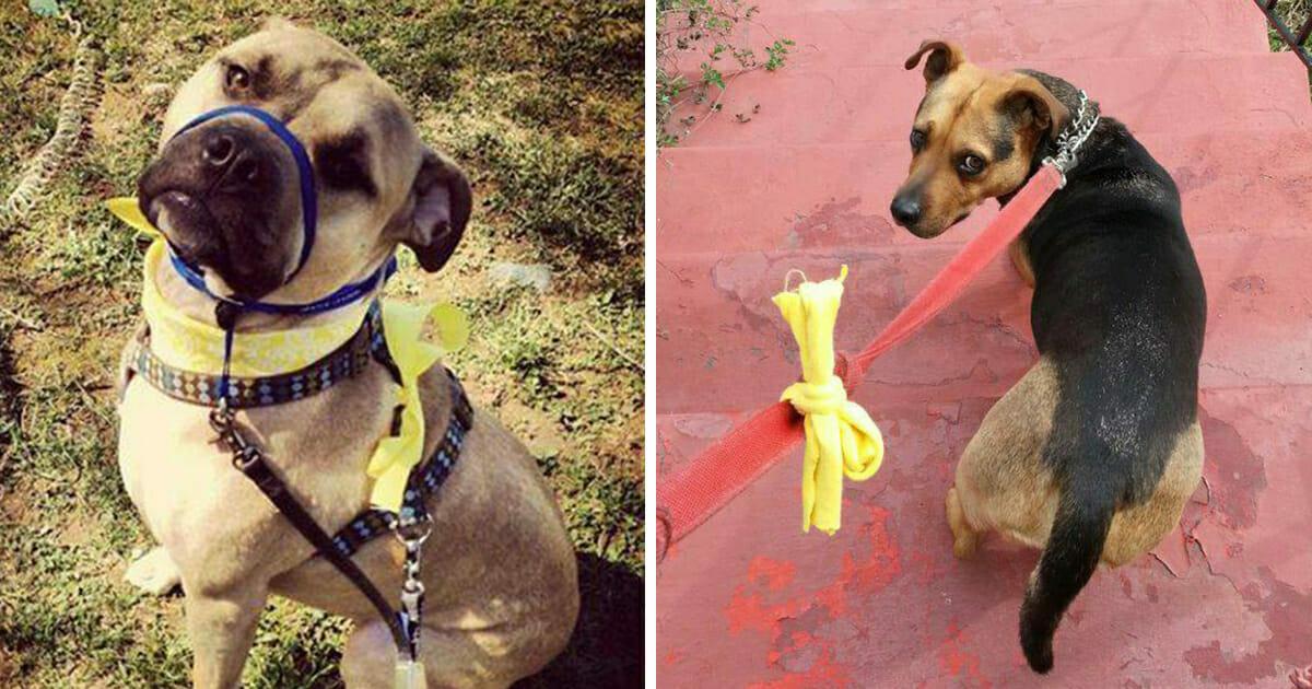 Grafika przedstawia dwa zdjęcia, na każdym z nich znajduje się pies oznaczony żółtą wstążką