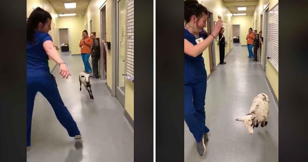 Grafika przedstawia dwa kadry z nagrania, na którym weterynarz tańczy z owieczką