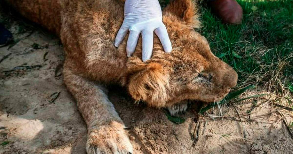 14-miesięczna lwica została pozbawiona pazurów, aby odwiedzający zoo mogli się z nią bawić