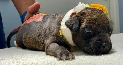 Poparzony szczeniaczek podczas leczenia