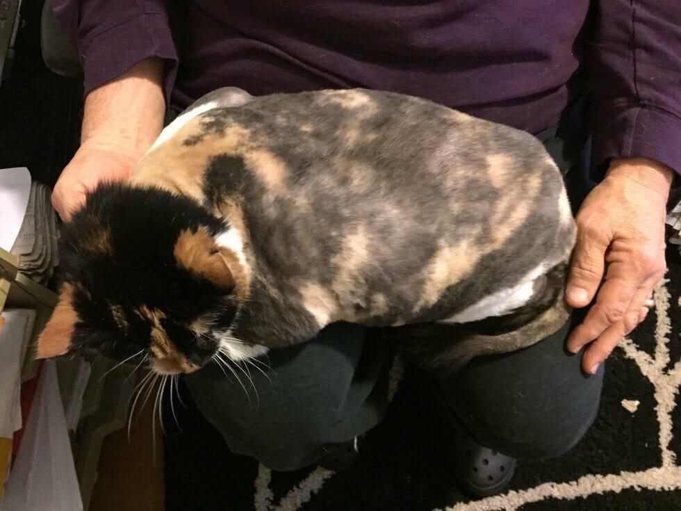 szczęśliwy kot leży na kolanach