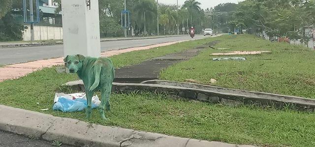 pies na zielono