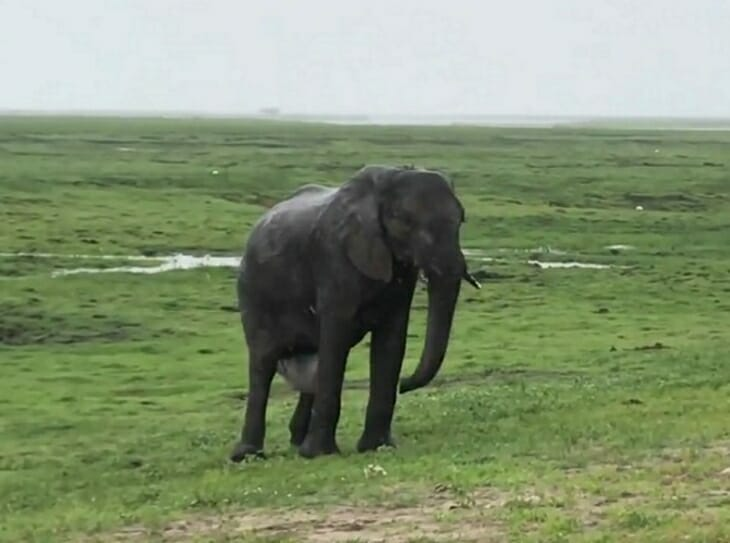 słonica rodzi