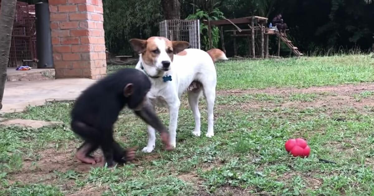 Suczka z szympansem