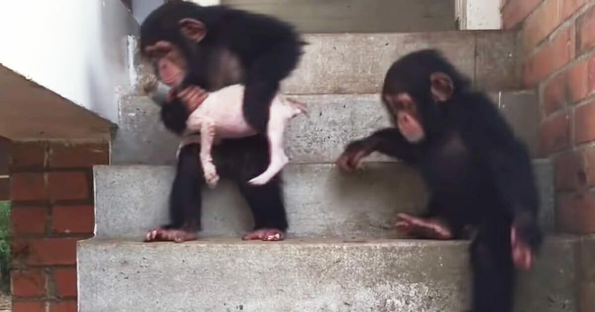 Szczeniaczek z szympansami