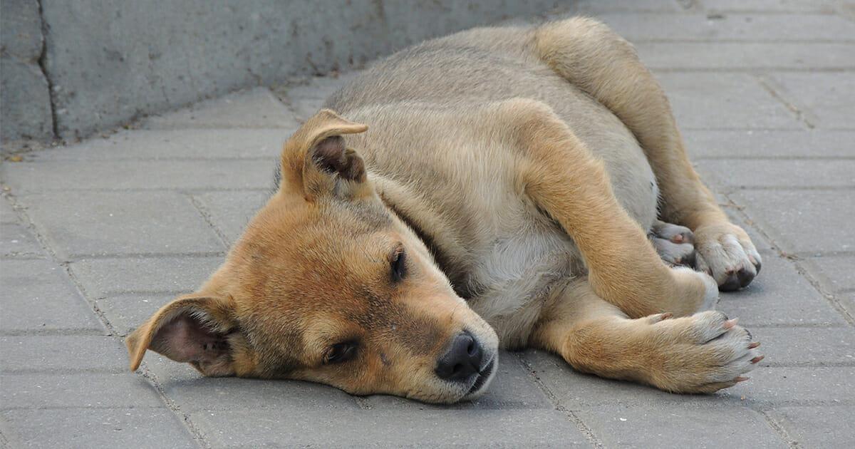 leżący pies