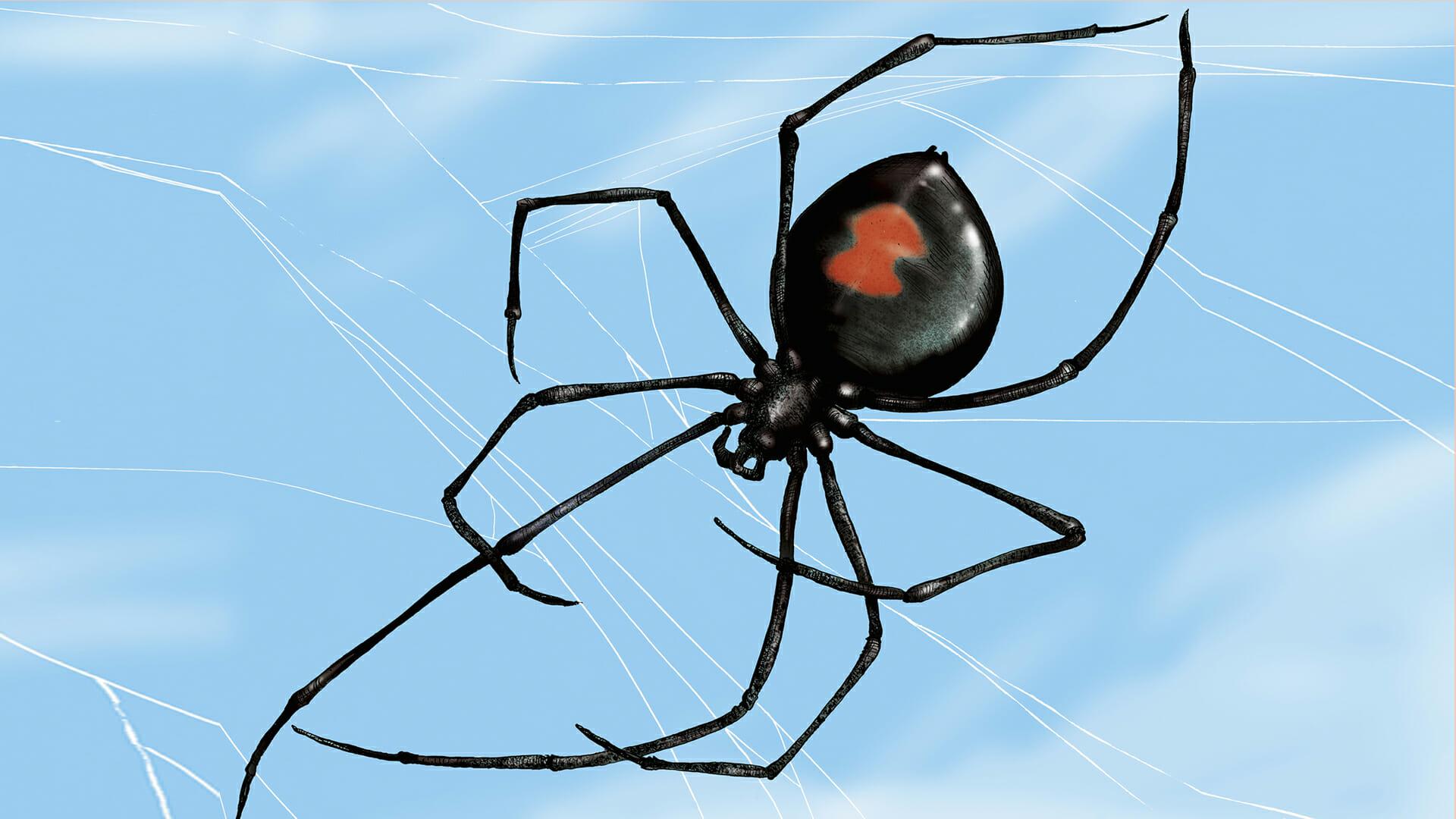disegno di un ragno - una vedova nera