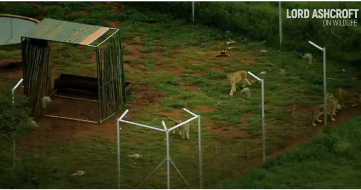 lwy w niewoli