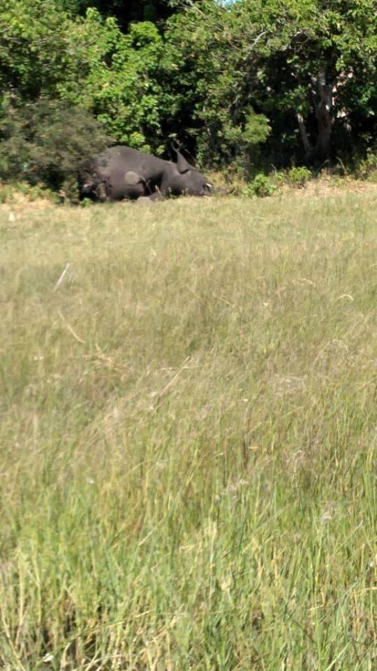 martwy słoń