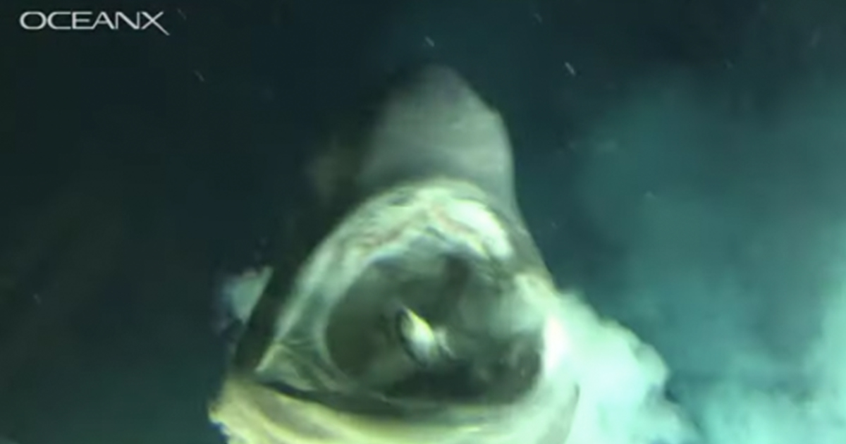 rekin pożera rybę