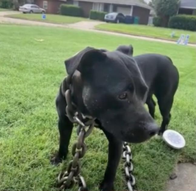 pies na trawniku z łańcuchem