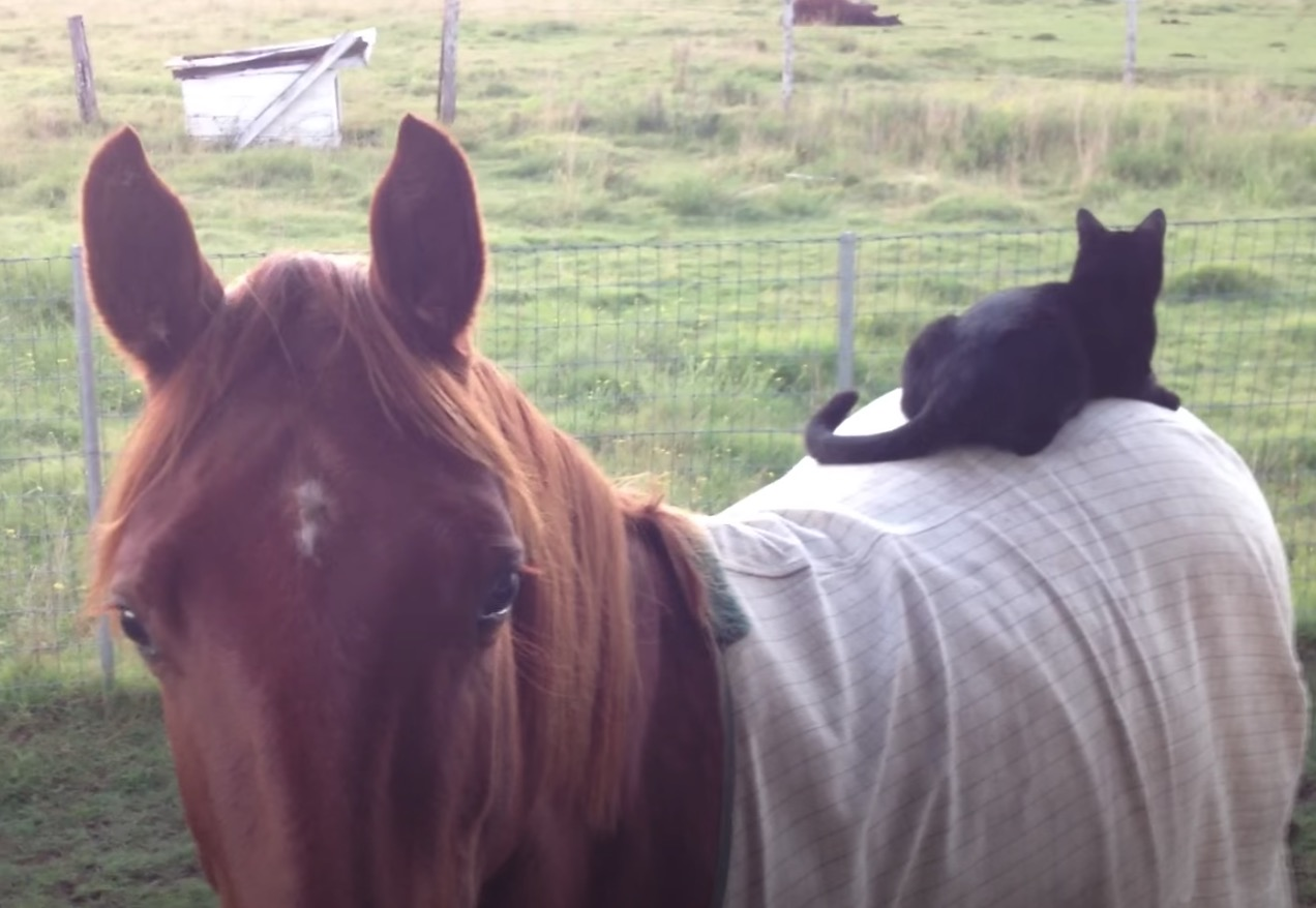 kot siedzi na koniu