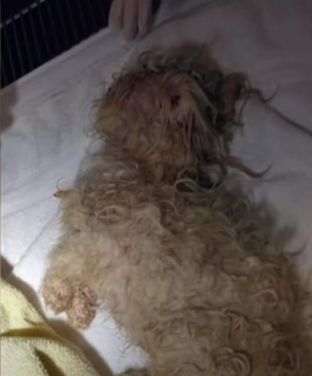 pies o kręconych włosach