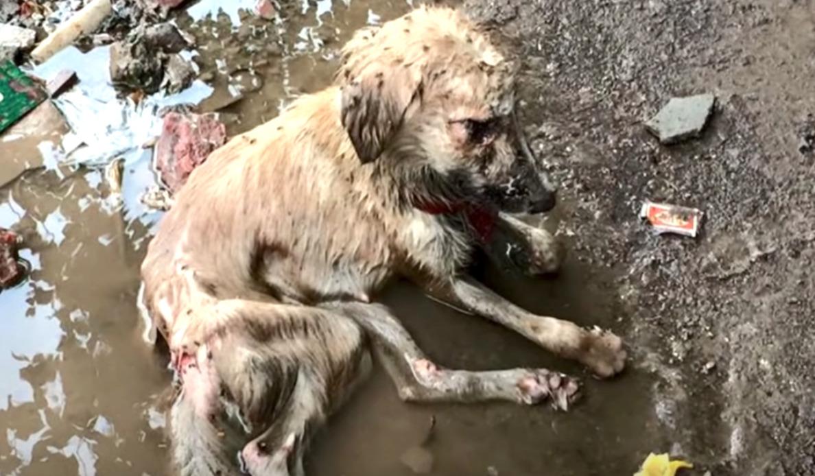 umierający pies leży w błocie
