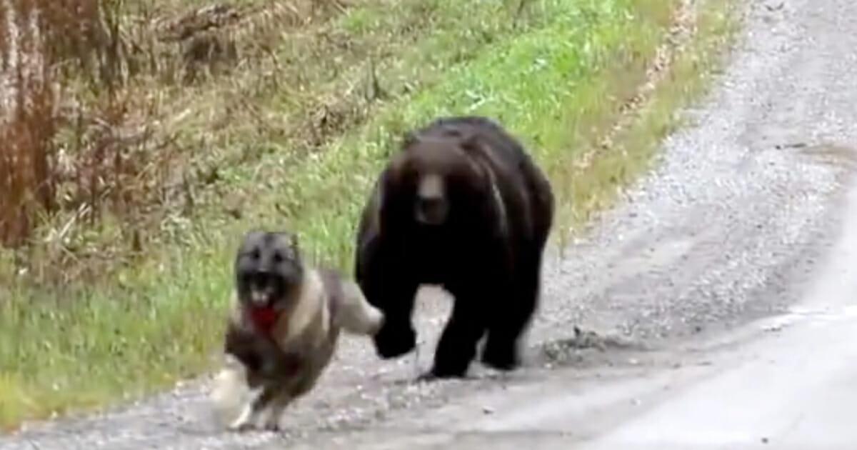 niedźwiedź goni psa