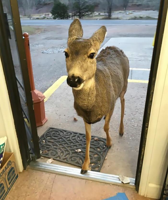jeleń stoi w drzwiach