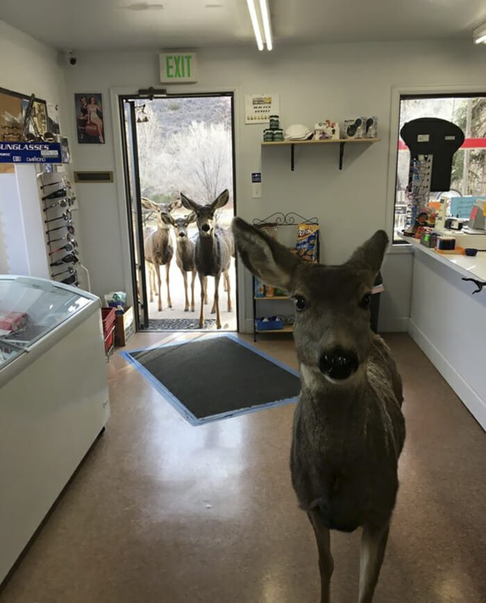 cztery jelenie przyszły do sklepu