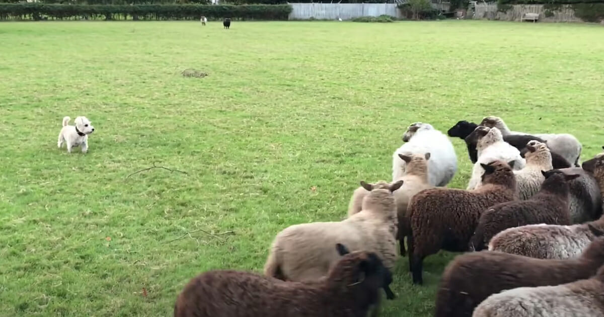 mały pies i owce