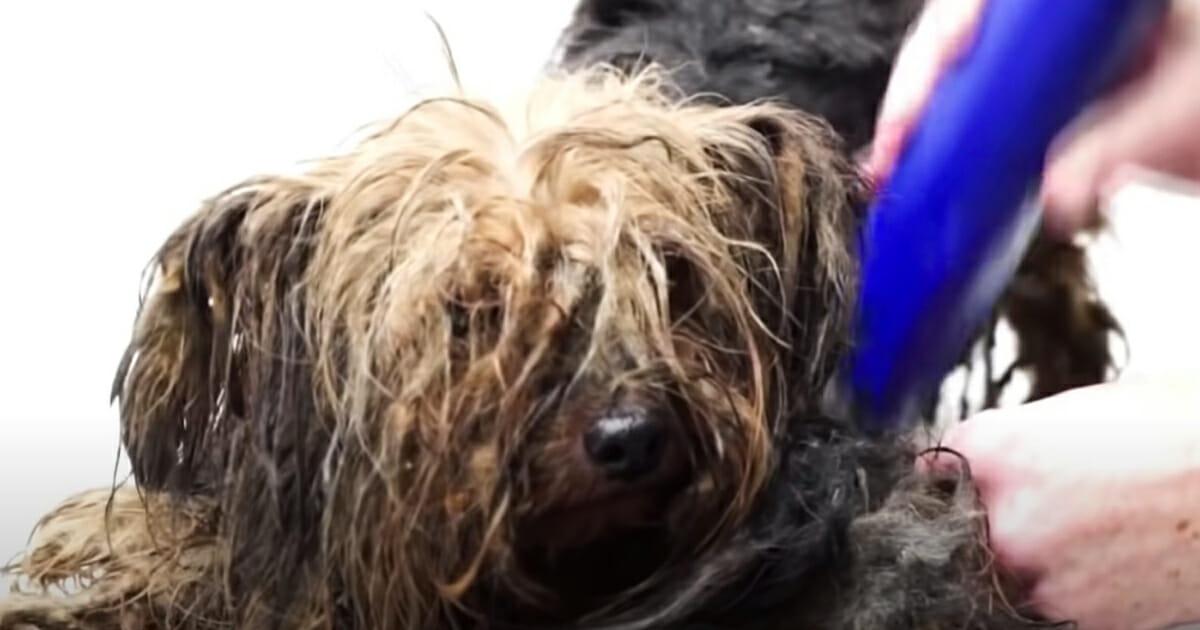 golenie psa z zaniedbaną sierścią