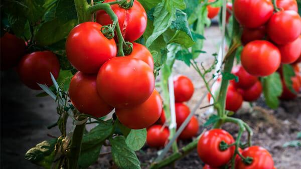 krzak pomidora