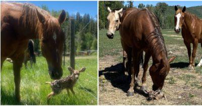 Konie opiekują się małym jelonkiem pod nieobecność matki