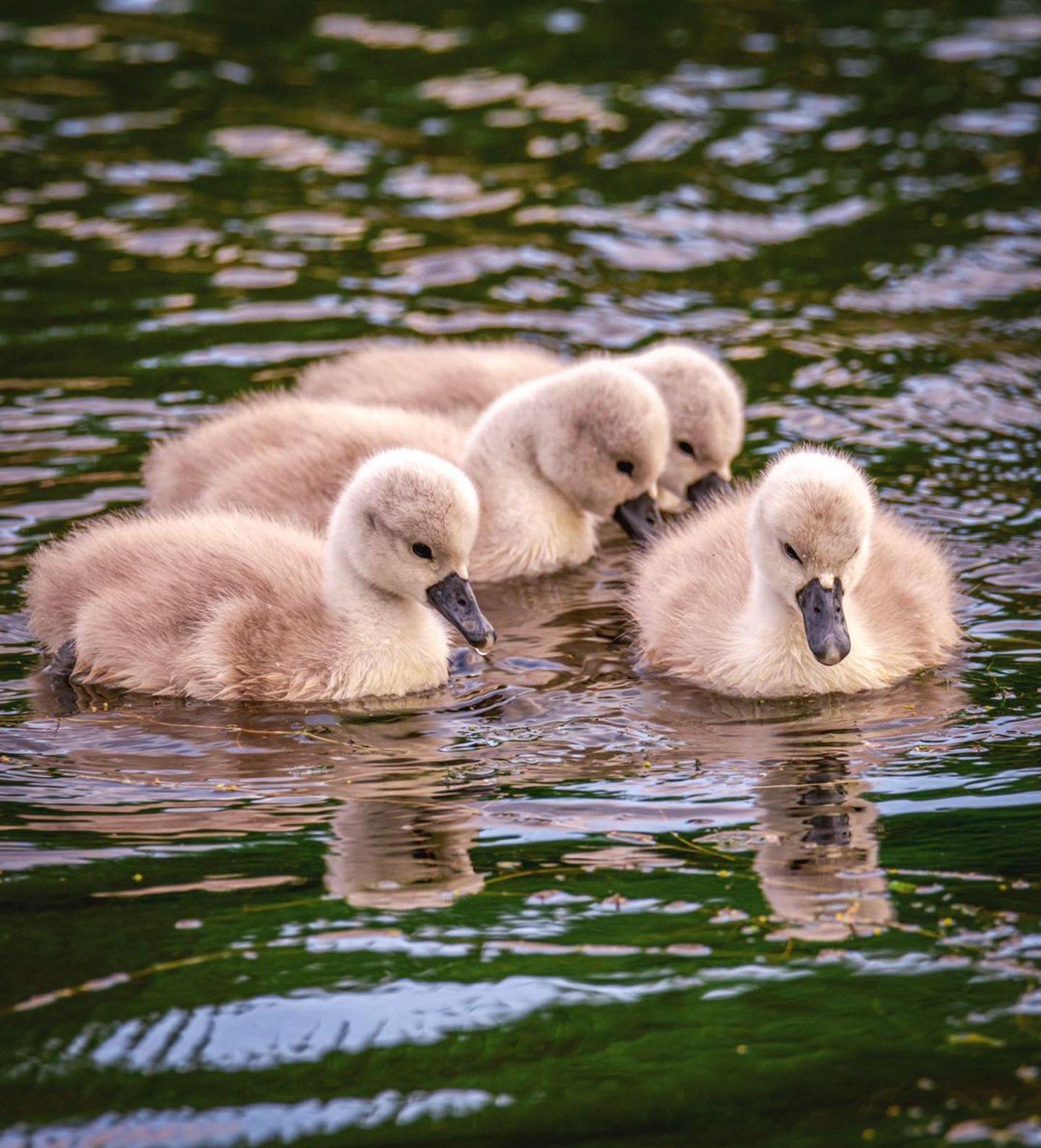 młode ptaki pływają po wodzie
