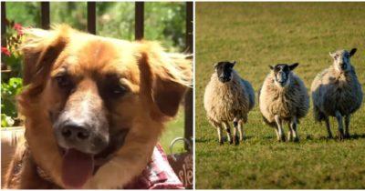 Pies, który zaginął po wypadku samochodowym znaleziony na farmie, gdy wypasał owce