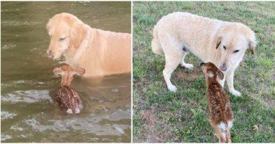 Bohaterski pies wskakuje do jeziora, aby uratować małego jelenia - dzięki temu zyskuje nowego przyjaciela