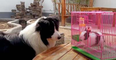 Rodzina powiększa się o królika - reakcja psa na pojawienie się malucha jest cudowna