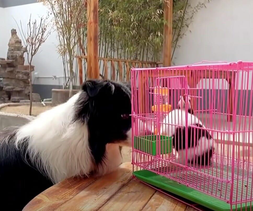 pies stoi przy różowej klatce z królikiem