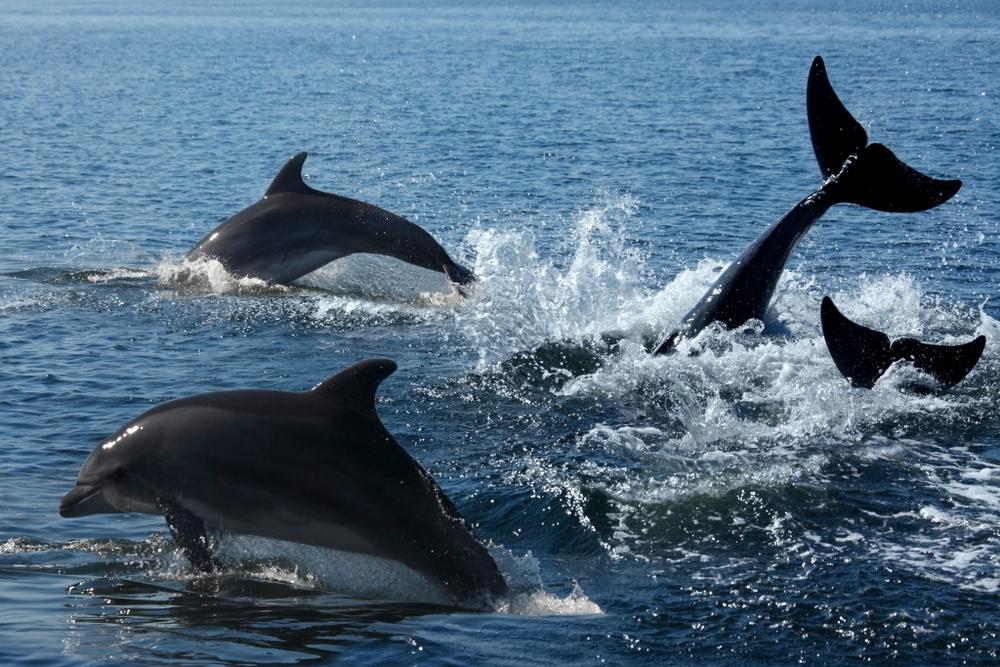 cztery delfiny