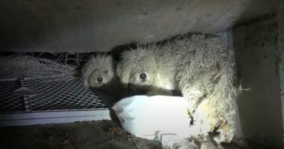 Dwa pudle mieszkają samotnie w kanale - gdy zapala się latarka natychmiast otwierają oczy