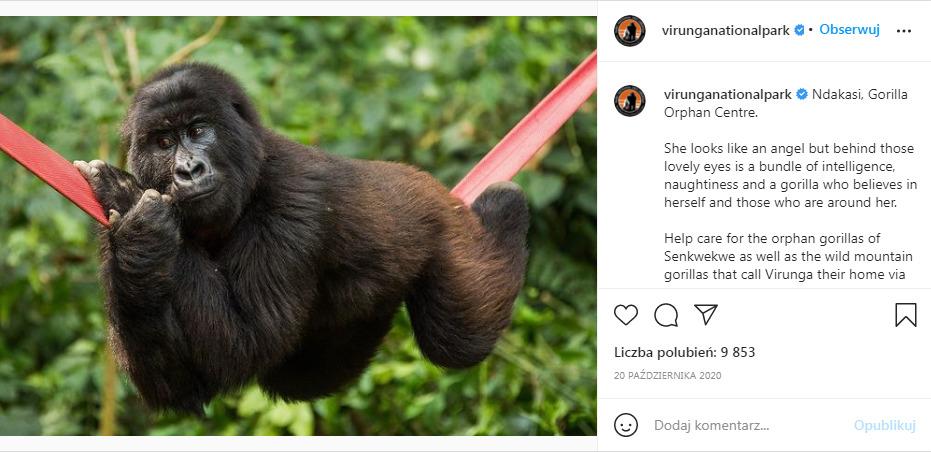 goryl leży na hamaku