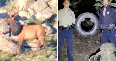 Strażnicy przyrody zdejmują jeleniowi oponę, która tkwiła na jego szyi przez dwa lata