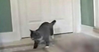 Kot zakrada się do domu ze swoim wyjątkowym przyjacielem - to, co przechodzi przez kocie drzwiczki, wszystkich zaskakuje