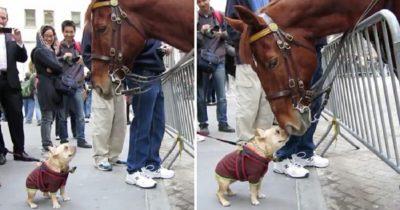 Odważny, mały piesek podchodzi do policyjnego konia, a ich spotkanie jest rozczulające
