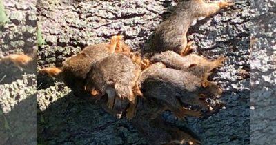 Policjanci otrzymują wezwanie w sprawie wiewiórek - na miejscu znajdują je skłębione w jednym miejscu