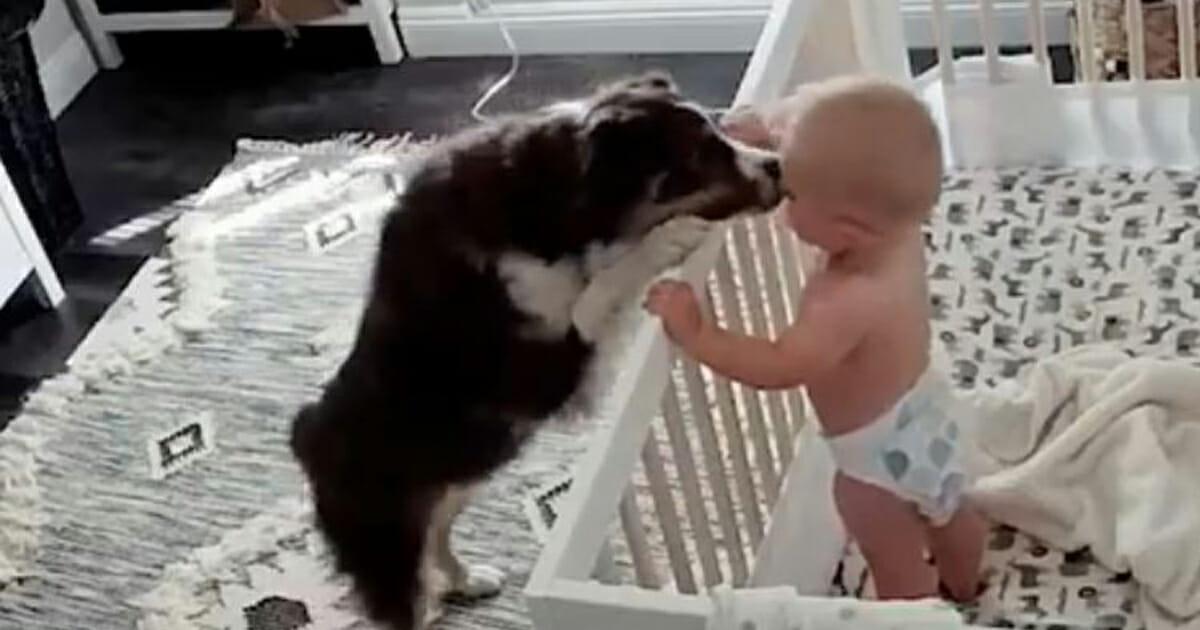 Koiran Raskausaika
