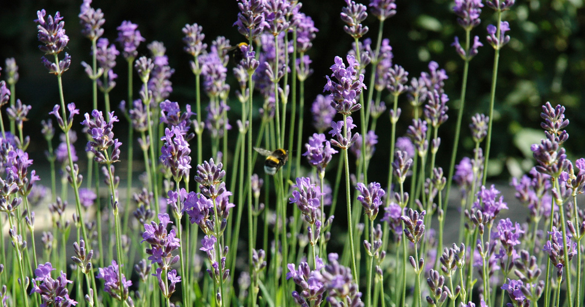 lavendel mot mygg