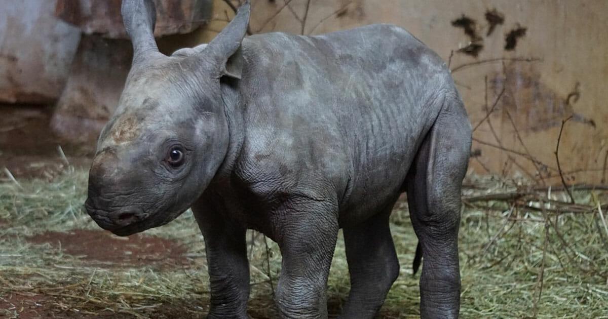 Kina legaliserer handel med truede nesehorn og tigere – 25 år etter at det ble forbudt