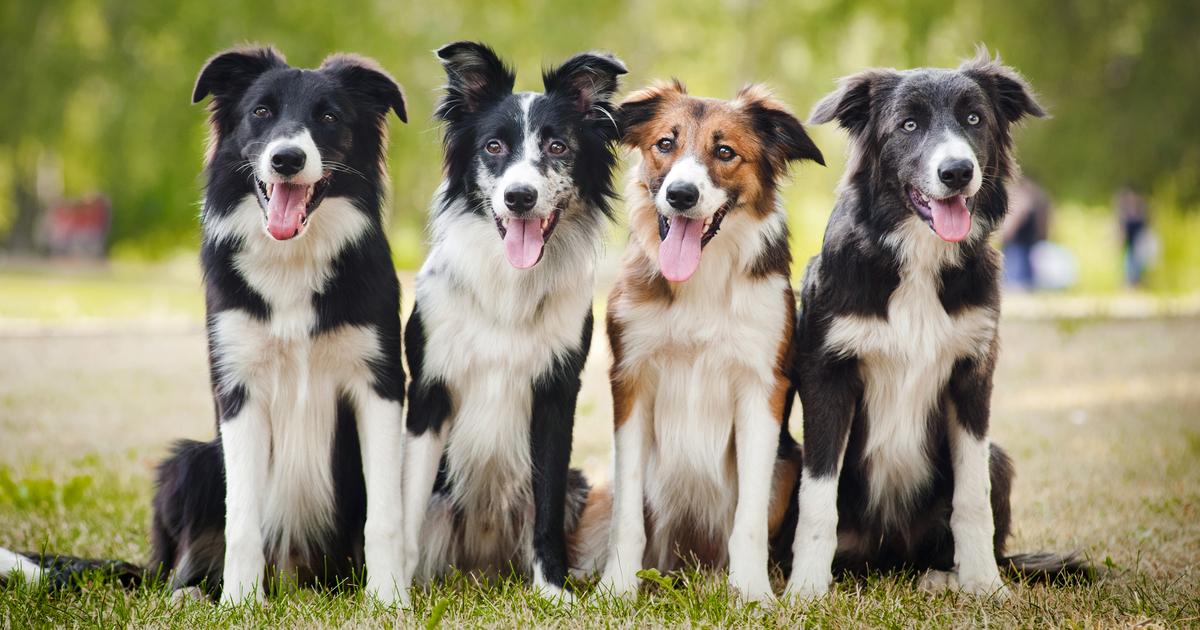hvor mange hunderacer er der