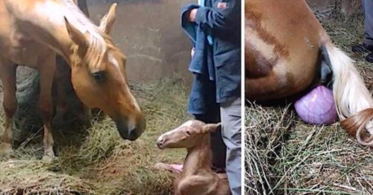 heste fødsel