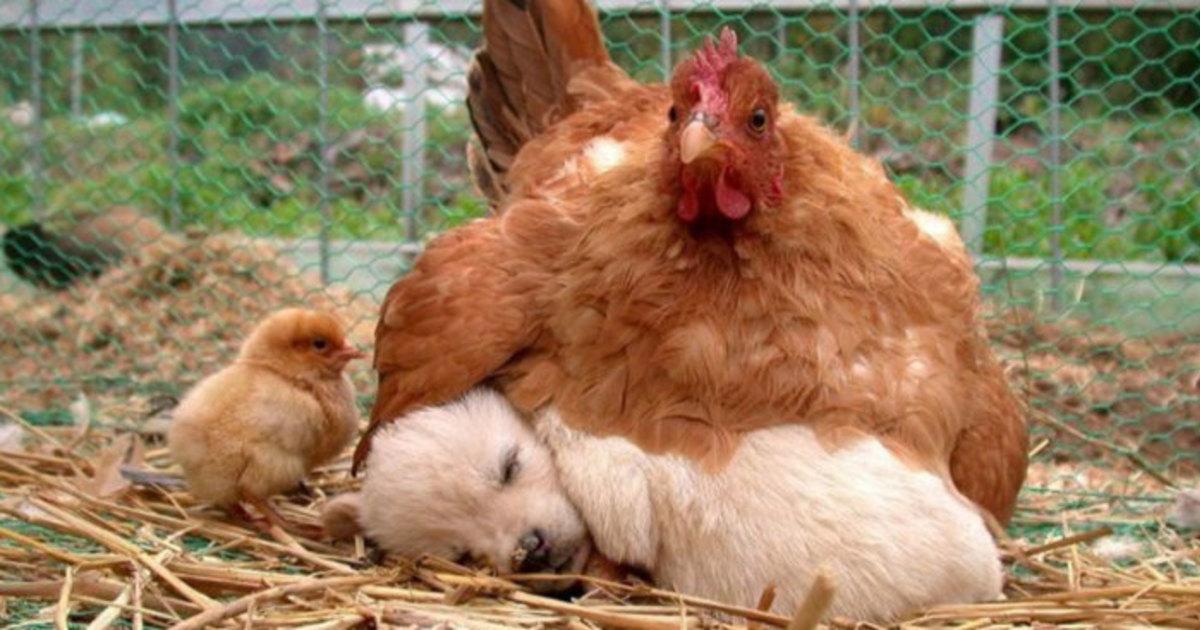 10 billeder som beviser, at høns er de bedste mødre i hele dyreriget