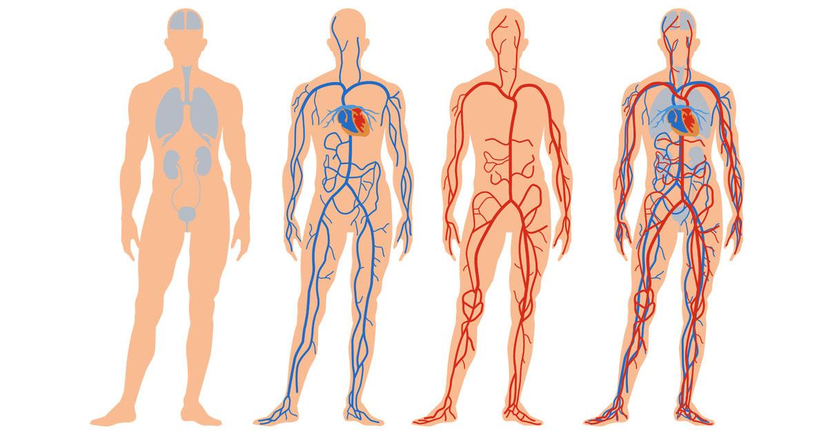 blodcirkulationen i kroppen