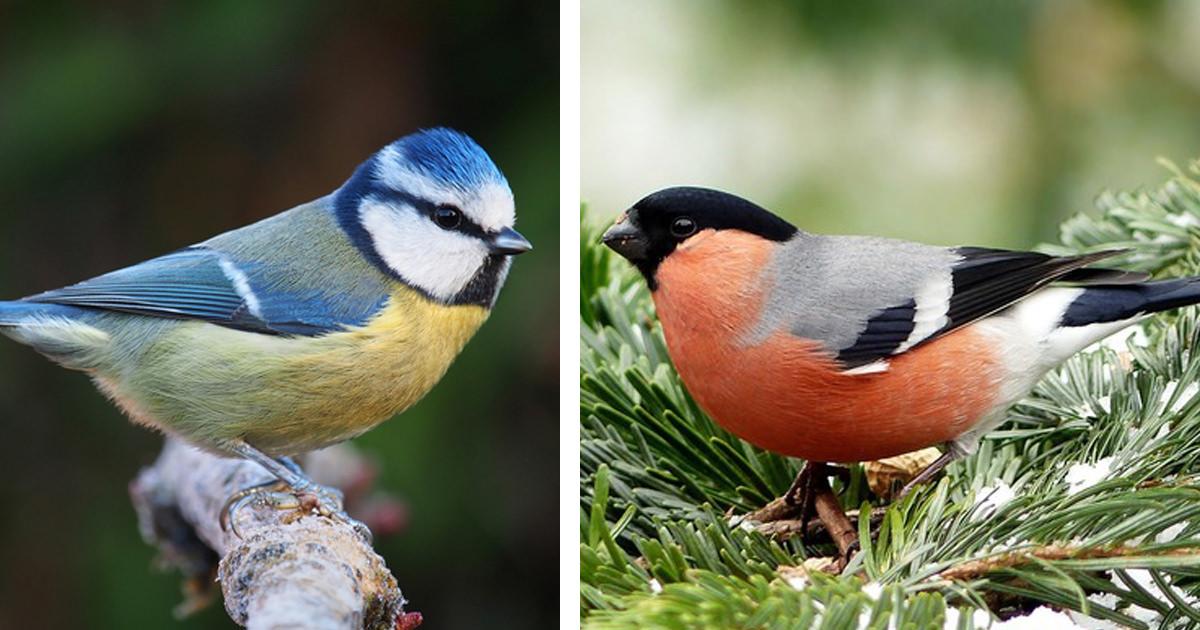 danske fugle